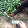 甜寶草莓種苗,內蒙古集寧區甜寶草莓種苗價格,甜寶草莓種苗苗圃價格表