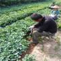 好的法蘭地草莓種苗日照市苗圃