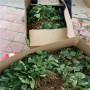 越麗草莓種苗2020年報價山東鄒平