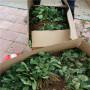 京藏香草莓種苗市場報價重慶巫山