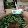 紅玉草莓種苗,重慶北碚區紅玉草莓種苗報價,紅玉草莓種苗批發價格