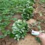 甜寶草莓種苗,浙江開化甜寶草莓種苗春季報價,甜寶草莓種苗廠家價格