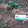 越心草莓種苗2020年報價吉林二道江區