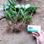 章姬草莓種苗基地山東文登區