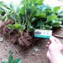 白雪小丁草莓种苗春季报价云南元谋
