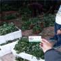 白雪公主草莓種苗報價內蒙古化德