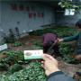 天使草莓種苗市場報價江蘇鼓樓區