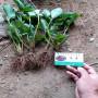江雪草莓種苗報價湖北枝江