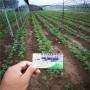 純的紅玉草莓種苗白城市基地
