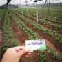 好的甘露草莓種苗柳州市苗圃