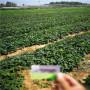 紅頰草莓種苗2020年報價江西宜黃
