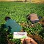 甜查理草莓種苗,安徽瑯琊區甜查理草莓種苗便宜報價,甜查理草莓種苗廠家