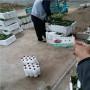 初戀味道草莓種苗便宜報價北京平谷區