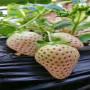 小白草莓種苗春季報價山西古縣