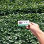 艷麗草莓種苗,云南鶴慶艷麗草莓種苗價格,艷麗草莓種苗苗圃價格表