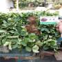 越麗草莓種苗價格吉林永吉