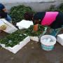 牛奶草莓種苗秋季報價廣西陸川