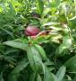2年生红肉中桃24桃苗多少钱一棵、病害防治