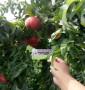黃1桃樹苗價格,1公分6月成熟棗油桃樹苗
