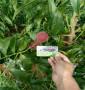 血肉蟠桃1號桃樹苗便宜報價,當年結果小公主棗油桃苗