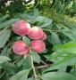 1年生6月成熟棗油桃樹苗基地,中油22號桃樹苗