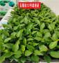 这苗子质量,吉塞拉12号砧木苗,天津便宜的吉塞拉12号砧木苗