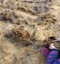 吉塞拉5號砧木苗、山東吉塞拉5號砧木苗哪里有