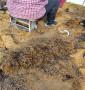 張家口市尚義縣便宜的矮化吉塞拉12號苗,苗子壯的矮化吉塞拉12號苗