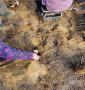 雷杰納大櫻桃樹苗供應基地,俄羅斯8號大櫻桃樹苗點擊查看