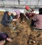 貨比三家,組培吉塞拉12號砧木,甘肅今年嫁接組培吉塞拉12號砧木