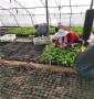 晉中市靈石縣2021年春季便宜馬哈利砧木苗,穴盤的馬哈利砧木苗