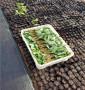 山西省陽泉市 吉塞拉小苗,品種純的吉塞拉小苗