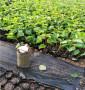 辽阳市灯塔市低价的大青叶砧木,基质的大青叶砧木