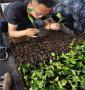 山西晋中吉塞拉5号砧木苗批发基地,质量好的吉塞拉5号砧木苗