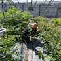 營養杯的珠寶藍莓苗的優勢,浙江衢州