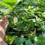 50高H蓝莓苗新价格,湖北襄阳