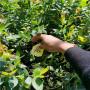 3年生綠寶石藍莓苗低報價,遼寧盤錦