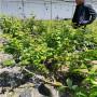 1米高智力都克蓝莓苗零售,辽宁辽阳