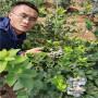 1年生L蓝莓苗便宜出售,湖南衡阳