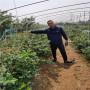 4年生頂架藍莓苗標準價格,云南昭通