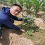 1年生L17蓝莓苗的优势,湖南常德