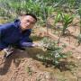 3年生智力都克藍莓苗零售,云南普洱