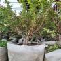 1年生智力都克蓝莓苗便宜培育基地,辽宁锦州