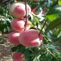 新闻:龙岩瑞蟠5桃树苗哪里可以买到[股份@有限公司]