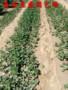 新聞:99草莓苗四川批發基地