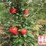 广东省维纳斯黄金苹果树苗品种树苗