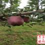 遼寧省蛇果蘋果樹苗品種保證