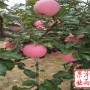 辽宁省新红星苹果树苗品种好