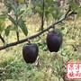 山西省魔笛苹果树苗树苗一级苗