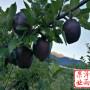 一年生秦脆蘋果樹價格表(四川省)